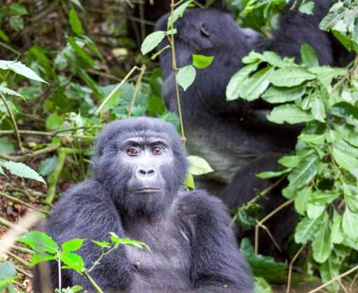 Adult gorilla in foreground with silverback gorilla in the background