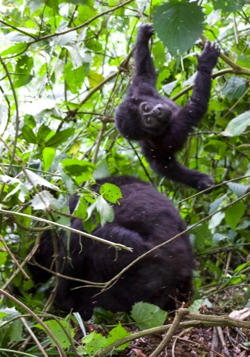 Baby gorilla swinging from tree with adult gorilla next to it