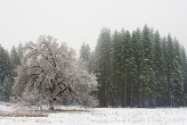Gary Hart Photography: Elm in Blizzard, Cook's Meadow, Yosemite