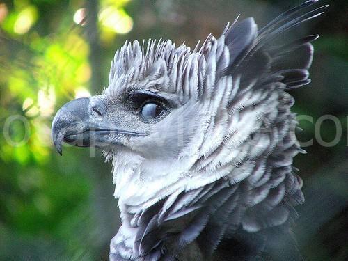 L'aquila Arpia: bella e leggendaria, poche persone sono riuscite a vederla in natura