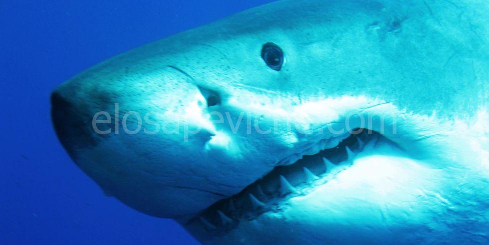 Il video incredibile dello squalo bianco più grande del mondo