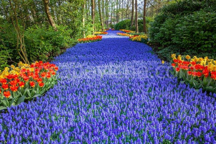 Oltre 7 milioni di fiori colorati sbocciano nel più grande giardino dei Paesi Bassi