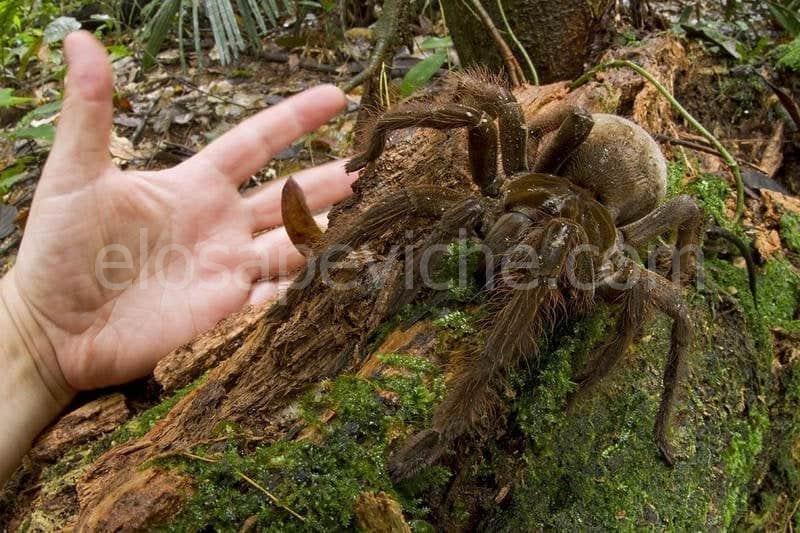 Tarantola Golia – il ragno più grande del mondo