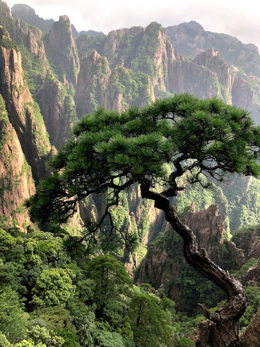 Pino en la Montaña Amarilla, Huangshan en China