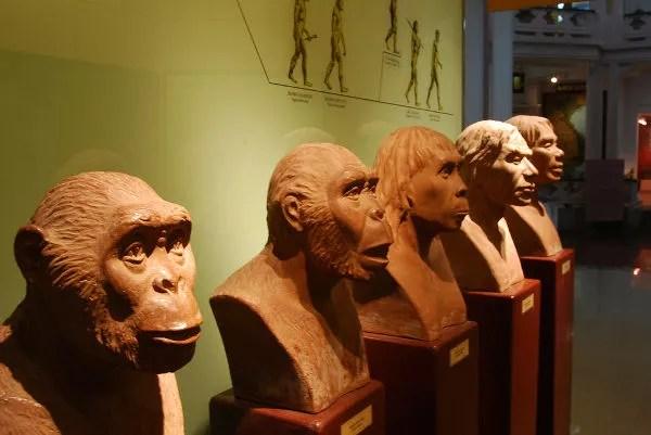 Bustos de homínidos en el Museo de Historia de Hanoi