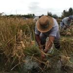 Fotos Delta del Ebro. Siega del arroz, campesinos