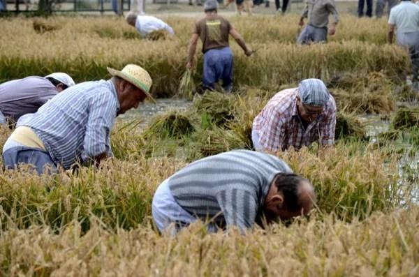 Fotos Delta del Ebro. Siega del arroz, exhibición