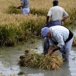 Fotos Delta del Ebro. Siega del arroz, recogiendo