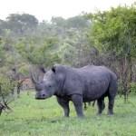 Fotos Parque Kruger Sudáfrica, rinoceronte mirando