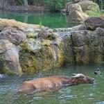Fotos de BIOPARC Valencia, bufalo rojo