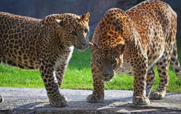 Fotos de BIOPARC Valencia, leopardos