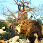 Fotos de BIOPARC, leones rugiendo