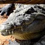 Fotos de Bioparc Valencia, cocodrilo