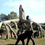 Fotos de Bioparc Valencia,gorilas