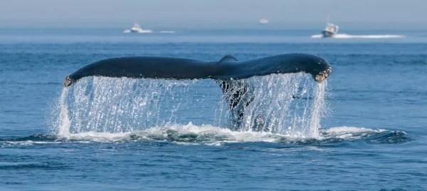 Fotos de Canada, ballena en Tadoussac