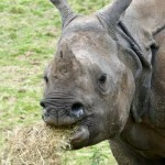 Fotos de Cork en Irlanda, rinoceronte en el Fota Wildlife Park