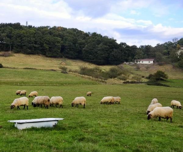 Fotos de Goierri, ovejas pastando