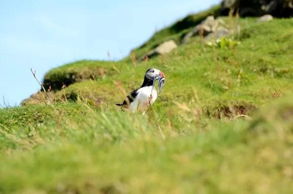 Fotos de Islas Feroe. Mykines, frailecillo con pescado