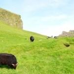 Fotos de Islas Feroe. Mykines, oveja