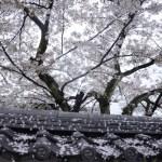 Fotos de Kioto en Japon, cerezos en flor
