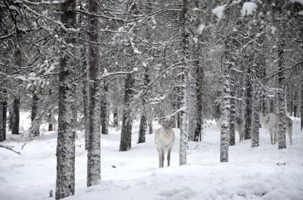 Fotos de Laponia Finlandesa, reno en el bosque
