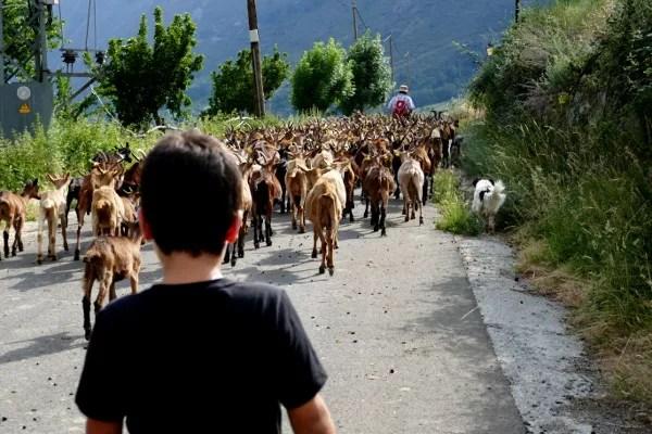 Fotos de Pirineo de Lleida, Teo cabras