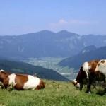 Fotos de Salzburgo en Austria, vacas en Gosau