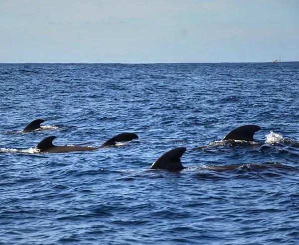 Fotos de Tenerife, excursion para ver ballenas