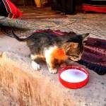 Fotos de Wadi Rum, Jordania - gato tomando leche