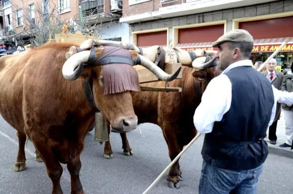 Fotos de las Mondas de Talavera, bueyes