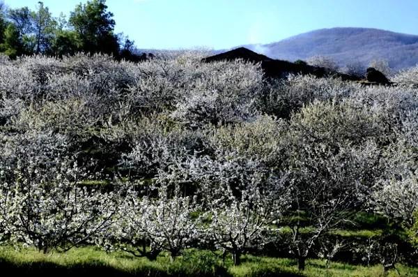 Fotos del Valle del Jerte, Agroturismo El Vallejo finca floracion
