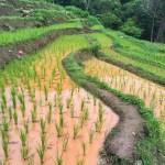Fotos del viaje a Tailandia con niños, arrozales Doi Inthanon