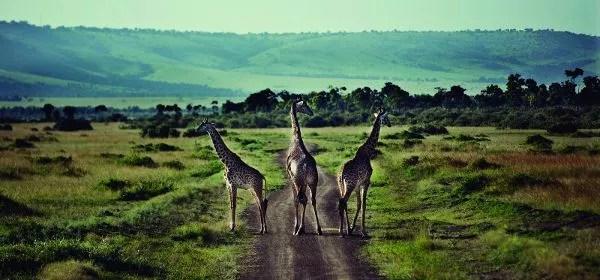 Girafas en África