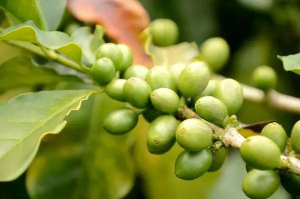 Granos de café de Colombia