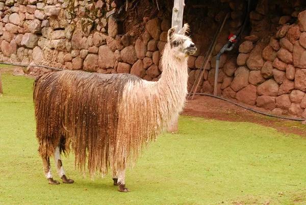 Llama lanuda de Awanakancha en Perú