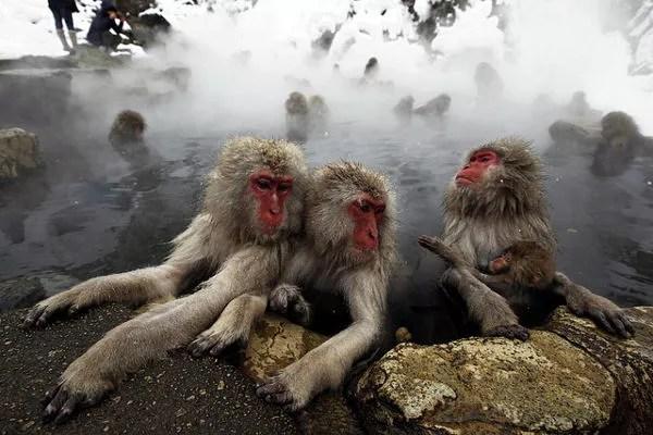 Parque de los monos de Jigokudani, Japón
