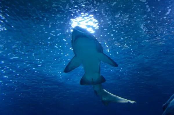 Tiburón en el Oceanogràfic de Valencia