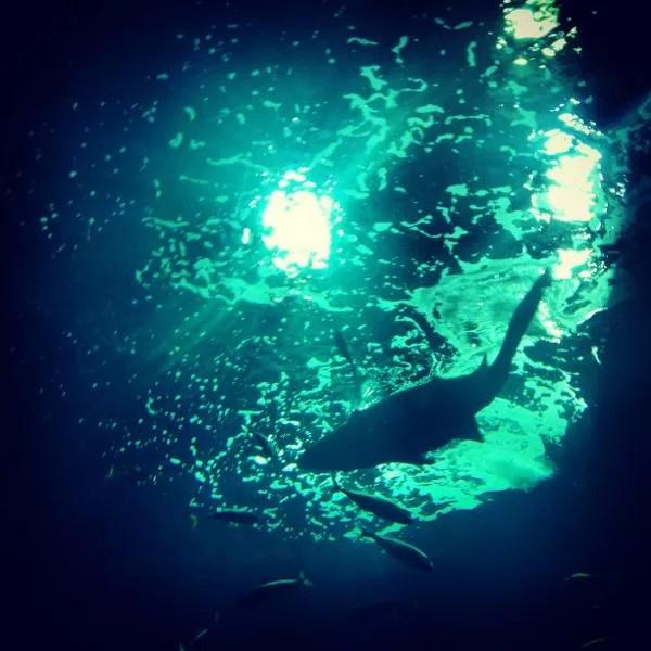 Tiburón toro en el Acuario de Gijón