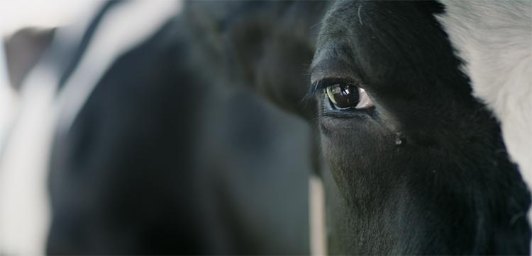 Vaca El Palomitrón