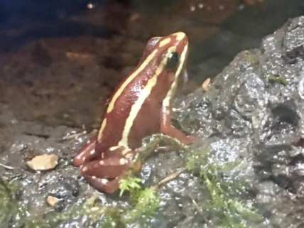 Tricolor Poison Dart Frog