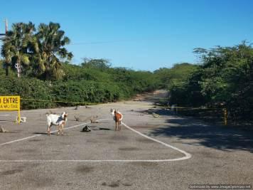 muchas iguanas