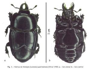 Avido depredador de larvas de picudo negro
