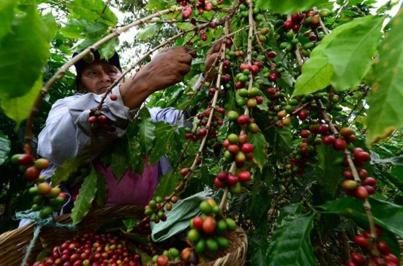 El café no pasa por su mejor momento, en el Cesar las pocas lluvias amenazan la calidad del mismo.  REFERENCIA