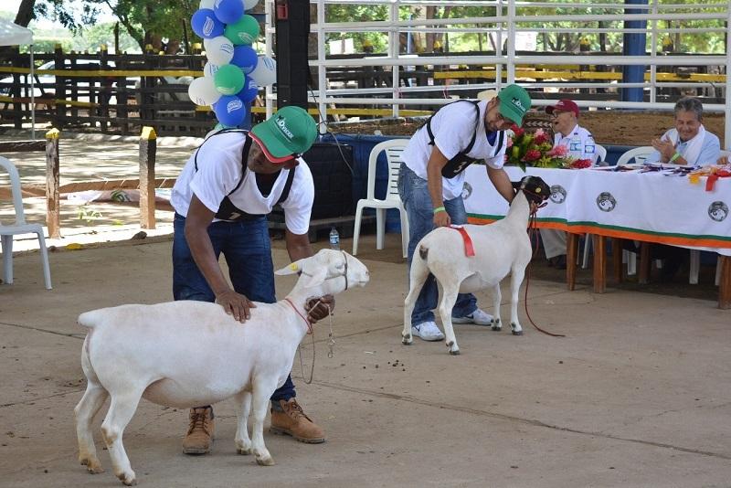La cría de ovinos toma fuerza cada día más en el departamento del Cesar muestra de ello, fue la participación de las diferentes razas en la Feria Ganadera.  FOTO: ARCHIVO