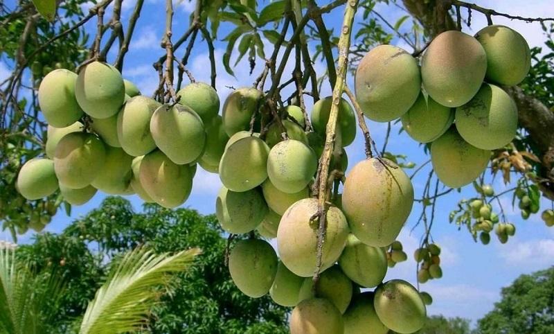 De los 25 municipios del Cesar en 16 se cultiva mango.  FOTO/ ARCHIVO.