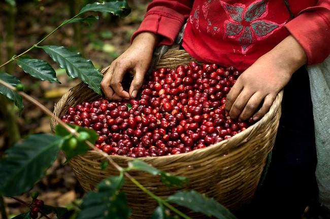 Los precios del café en el mercado internacional han aumentado en un 55 %.