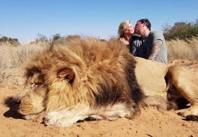 Polémica por una nueva foto de unos turistas con un león como trofeo de caza