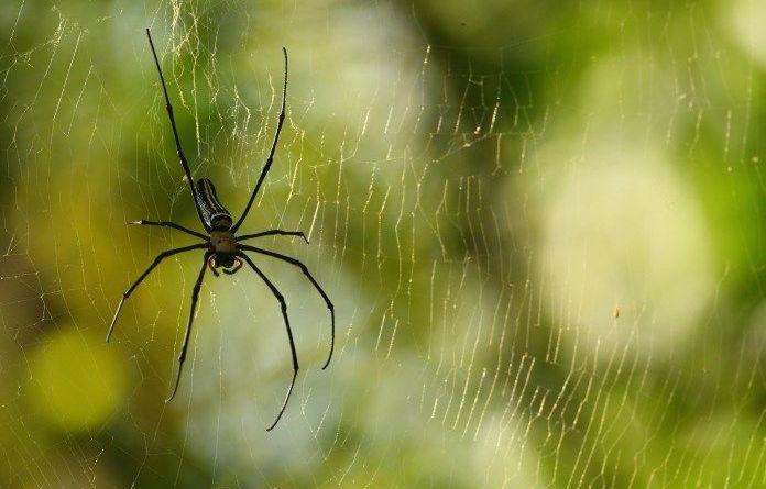 Detectan arañas agresivas que arrojan los huracanes