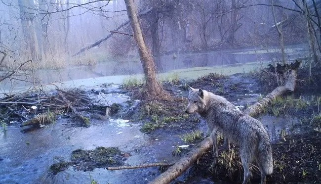 Documental: Los lobos radiactivos de Chernobyl