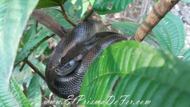 Bebe anaconda